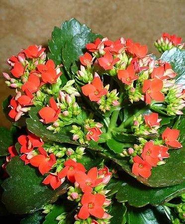 Каланхоэ цветущий - каприз удовлетворён
