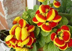 Кальцеолярия – эффектное растение со своими капризами