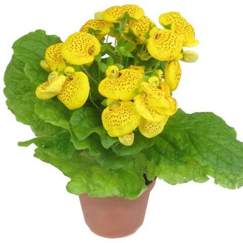 Calceolaria nego na domu