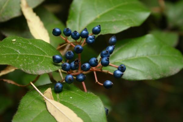 Evergreen Viburnum v sadju.