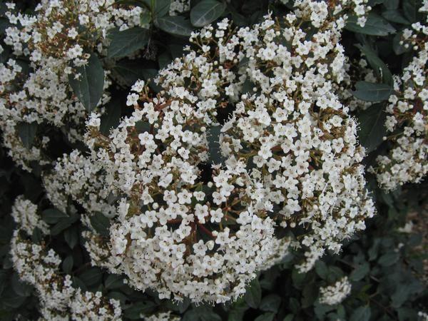 Evergreen Viburnum v cvet.