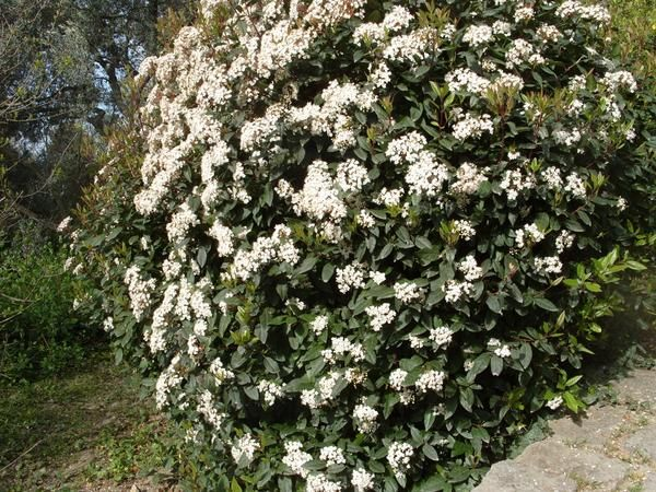 Viburnum bush cvetenja zimzelena.