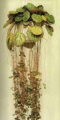 Kamnokreč - zdravilna rastlina