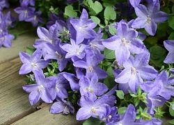 Кампанула со скромными цветочками
