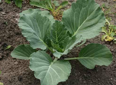 Zelje mlada rastlina, Brassica oleracea var.