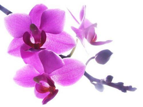 Картинки цветов орхидей