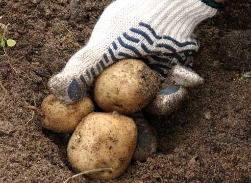Krompir, gomolji, Solanum tuberosum