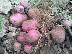 Krompir - sajenje in nego na prostem, čiščenje in shranjevanje