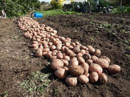 Symphony krompir