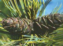 Cedar - čudež narave
