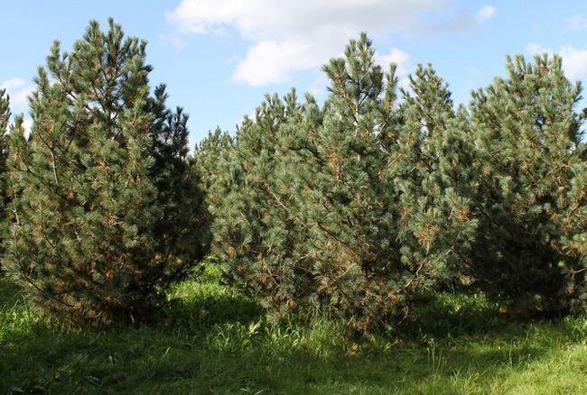 Cedar evropski ali Pinus cembra