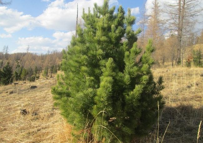Sibirska cedra bor. Foto in opis. Sajenje in nega, bolezen drevo