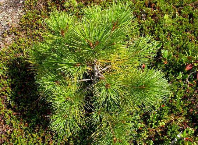 Sajenje in nega cedre sibirskega bora