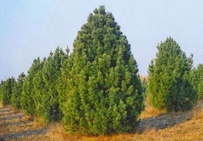 Sibirska cedra potrebuje mulčenje tal ohraniti visoko stopnjo rodnosti drevesa