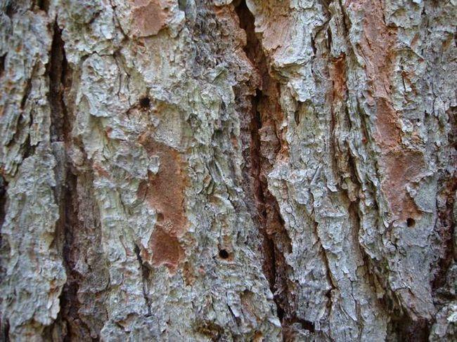 Bolezni in škodljivci sibirskega bora