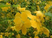 Керрия японская - Кerria japonica