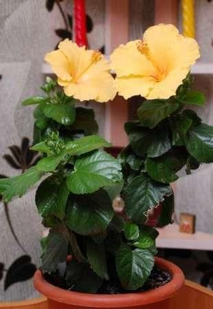 Китайская роза дома - красивый обитатель простого ухода