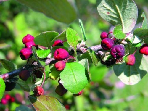 Кизильник черноплодный, характеристика растения, размещение в саду и уход