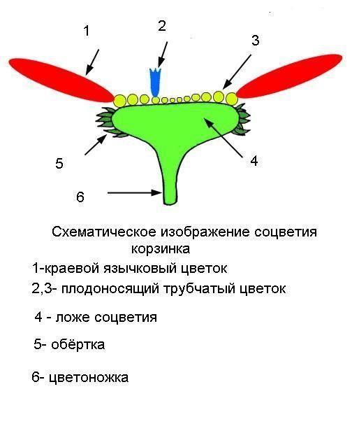 Классификация георгин