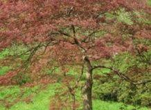 Maple temno rdeča z razkosanih listi