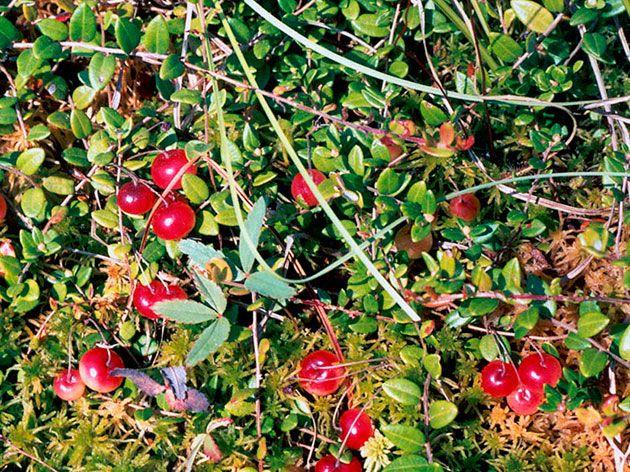 Куст клюква – посадка и уход, фото клюквы, выращивание клюквы в саду: обрезка и размножение