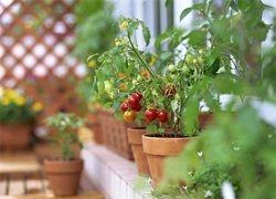 Zelenjavni vrt na okensko polico z lastnimi rokami