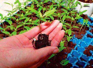 Pekirovka poper sadike