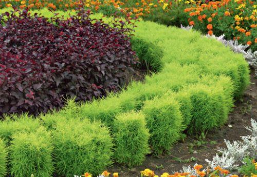 Кохия: летний кипарис в дизайне сада, посадка и уход