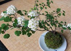 Кокедама для выращивания комнатных цветов