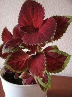 Колеус блюме - комнатный цветок с пестрыми листьями