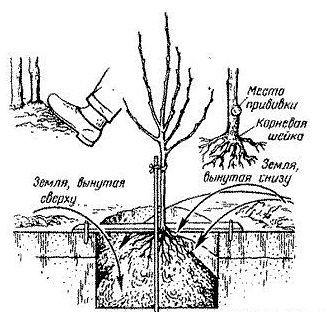 колоновидная груша посадка