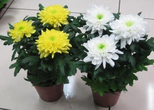 Комнатная хризантема: как ухаживать, условия выращивания и размножения