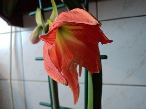 soba ali lilija cvet začne gippeastrum
