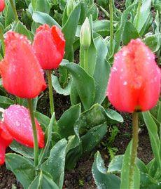 Огурцы на подоконнике: выращивание и уход
