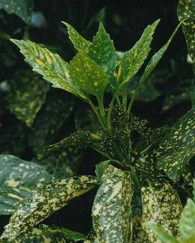 Комнатное растение аукуба, уход за цветком