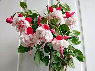 Комнатные цветы, фуксии, стрептокарпусы и глоксинии