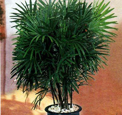 Комнатные пальмовые цветы: основные правила содержания и ухода