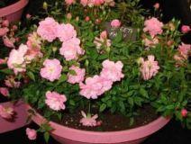 Lončkih vrtnice rastejo