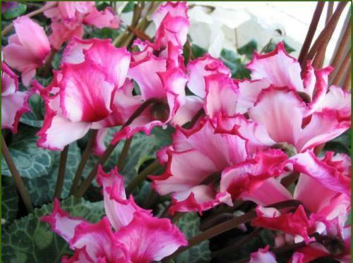 Комнатный цветок цикламен. Особенности ухода