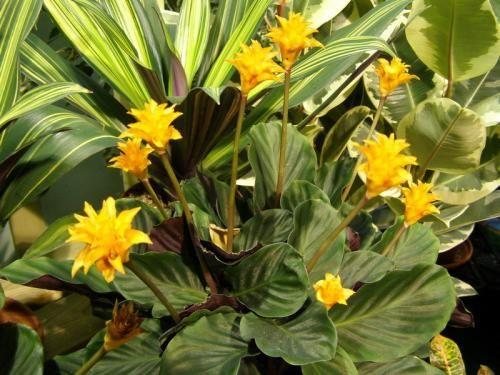 Комнатный цветок калатея. Уход