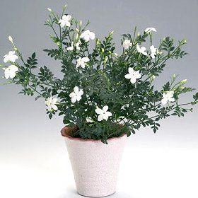 Комнатный цветок жасмин
