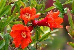 цветение граната