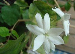 Комнатный жасмин: достойный уход за ароматной лианой