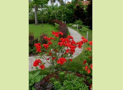 Рододендрон на фоне декоративных растений