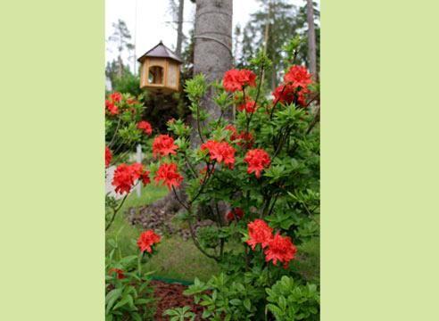 Рододендрон, цветение, в саду