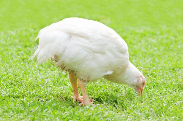 Корм для бройлеров как вырастить цыплят выгодно
