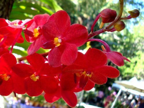 Kraljica vseh barv - rdeča orhideja