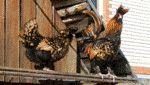 Котляревская порода кур