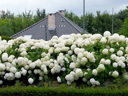 Красивое украшение в саду гортензия анабель: посадка и уход