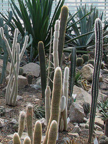 Красивые кактусы и суккуленты в композициях